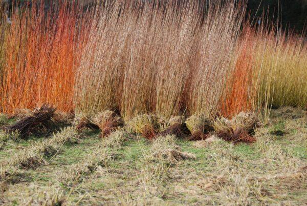 Выращивание лозы для плетения может стать неплохим бизнесом.