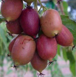 Практически созревшие плоды актинидии
