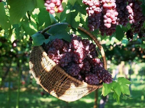 Виноград в беседке – это практически инструкция в совмещении полезного и приятного!