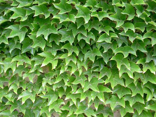 Вьющееся растение в виде ограды
